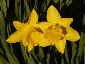 narcissus_daffodil_flower